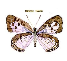 Leptotes Cassius (Cassius Blue Butterfly) Photographic Print