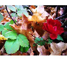 Autumn Rose Photographic Print