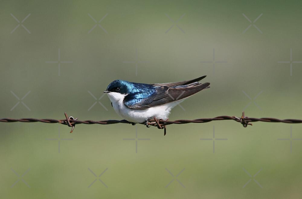 Male Tree Swallow (Tachycineta bicolor ) by Vickie Emms