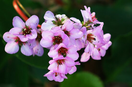 Pretty pink flowers at Adelaide Botanic Gardens by Joanne Emery