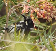 New Holland Honeyeater in a Grevillea - Kangaroo Island, South Australia by Dan & Emma Monceaux