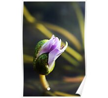 Waterlily flower and lily pad Poster