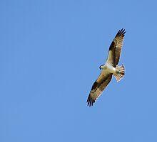 Osprey by Sherry Pundt