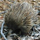 Short-beaked Echidna at Flinders Chase National Park - Kangaroo Island, South Australia by Dan & Emma Monceaux