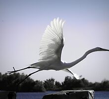 louisiana egret in flight by leapdaybride