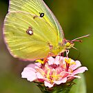 Yellow butterfly by carlosramos
