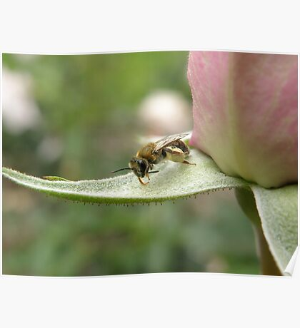 Native Bee on a Rose Bud. Poster