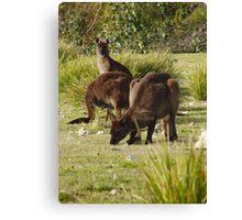 Grazing Kangaroos at Flinders Chase National Park, Kangaroo Island Canvas Print