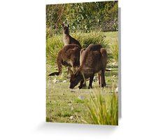 Grazing Kangaroos at Flinders Chase National Park, Kangaroo Island Greeting Card