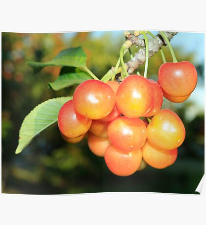 Cherry Tree-Detail Poster