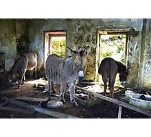 Donkeys, Blasket Island, Ireland Photographic Print