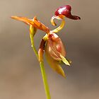 Flying Duck Orchid by Cecily McCarthy