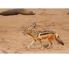 Black-backed Jackal ~ Namibia Photographic Print