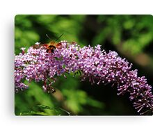 Clearwing Moth And The Bee Canvas Print