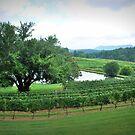 Cane Creek Vineyards by Tracey Hampton