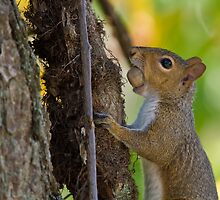 Squirrel With Acorn by David Stegmeir