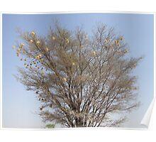 Weaver nest tree, Namibia Poster