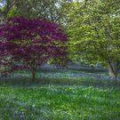 Winkworth Bluelbells by Paul Revans