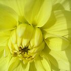 My yellow dahlia by Ana Belaj