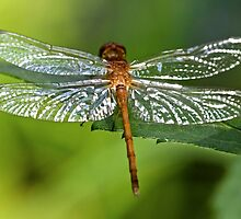 Dragonfly by Evelina Kremsdorf