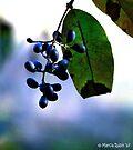 Blue Autumn Berries by Marcia Rubin