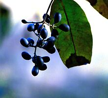 Blue Autumn Berries by Marcia Rubin