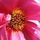 Beyond Beautiful - Pink Dahlia by BlueMoonRose