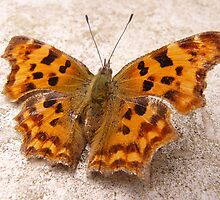 Comma butterfly by Pauline-W