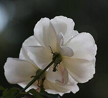 White rose 0057 by João Castro
