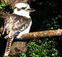 Kookaburra by lynn carter
