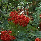 Early Rowan Berries by MidnightMelody
