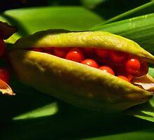 Stinking Gladwyn ~ Iris Foetidissima by Susie Peek