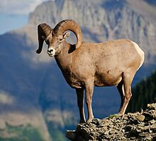 Big Horn Sheep #1 by JimGuy