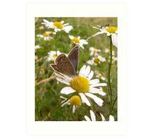 Common blue butterfly (female) Art Print