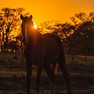 Horse at Sunrise by photograham