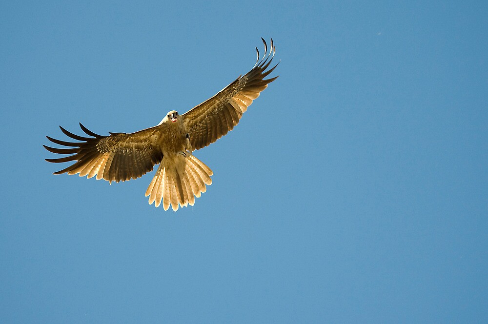 Feeding the Kites - Adelaide river NT by Jenny Dean