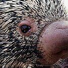 Porcupine by © Loree McComb