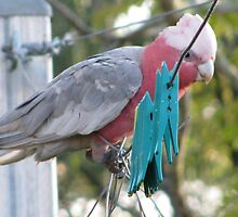 green pegs and galah by betty porteus
