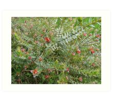 Darwinia Citriodora, ( Lemon scented myrtle) Art Print
