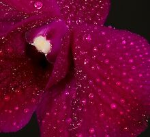 Orchid Dew by David Stegmeir