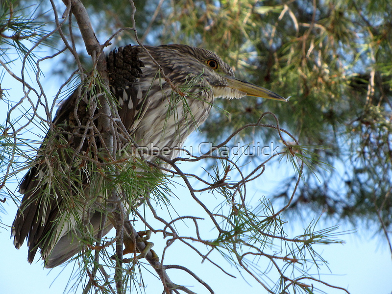 Black-Crowned Night Heron ~ Juvenile by Kimberly Chadwick