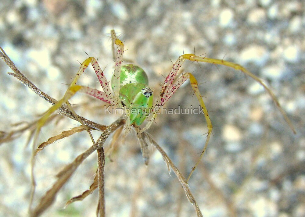 Green Lynx Spider by Kimberly Chadwick