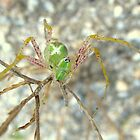 Green Lynx Spider by Kimberly P-Chadwick
