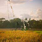 Rice Paddies by David Reid