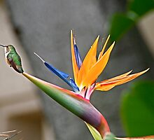 Hummingbird on bird of paradise by Lainey Brown