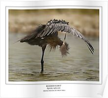 REDDISH EGRET  Egretta rufescens (NOT A PHOTOGRAPH OR PHOTOMANIPULATION) Poster