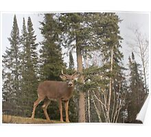Young Deer watching over the yard Poster