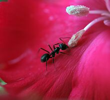 the ant and the dianthus by Clare Colins