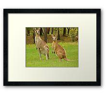 visiting kangaroos Framed Print