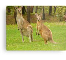 visiting kangaroos Metal Print